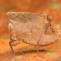 Leaf mimicking Grasshopper