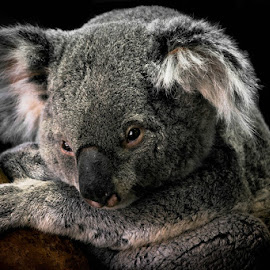 Special K by Gregg Pratt - Animals Other Mammals ( koala )