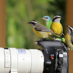 Resting! by Itamar Campos - Animals Birds ( blue dacnis female, cambacicas )
