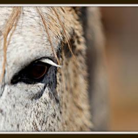 Park Police horse  by Tammy Hardy - Animals Horses