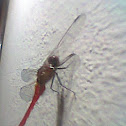Red-veined darter