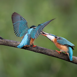 Kingfisher by Matteo Chinellato - Animals Birds ( kingfisher )