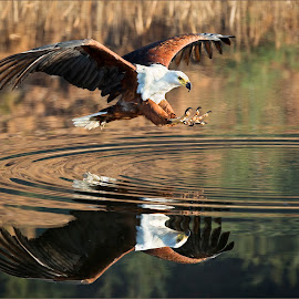 Fish Eagle attack  by Dries Fourie - Animals Birds