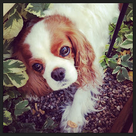 Bailey by Angie Arnold - Animals - Dogs Portraits