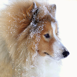 Winter by Allan Wallberg - Animals - Dogs Portraits ( shetland sheepdog )