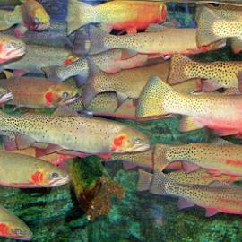 Aquarium Trout by William Thielen - Novices Only Wildlife ( spotted, red, school, fish, aquarium, trout, denver, colorado, brown, river,  )
