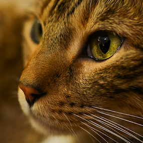 Kelsang Gyatso Bell 3 by Don Alexander Lumsden - Animals - Cats Portraits (  )