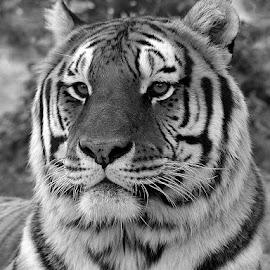 Majestic King by Karen Talasco - Animals Lions, Tigers & Big Cats (  )