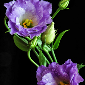 It's blooming time :) by Irena Gedgaudiene - Flowers Flower Arangements ( lilac, bloom, buds, flower, blossoms,  )
