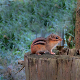 Chipmonk by Jane Spencer - Animals Other Mammals ( hibernator, chipmonk, busy, rodent, squirrel )