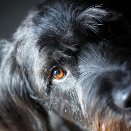 Allie by Kim Hastings - Animals - Dogs Portraits ( face, labradoodle, dog, closeup, eye,  )