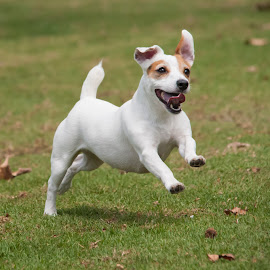 Happy Jack. by Keith Reling - Animals - Dogs Running ( jack russell )