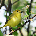 Yellow Warbler (female)