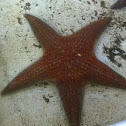 Leather seastar