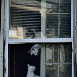 two cats and a window by Tim Hauser - Animals - Cats Playing ( cats, cat, animals, window, art, fine art )
