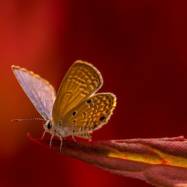 Butterfly In Red by John Greene - Animals Insects & Spiders ( bangkok, butterfly, macro, red, carrigallen, canon 180mm, john greene )