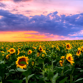 Sunflower by Stratos Lales - Landscapes Prairies, Meadows & Fields ( field, colourful, sky, sunset, sunflower )