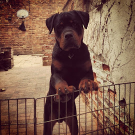 by Edward Heathcote - Animals - Dogs Puppies ( rotty, rottweiler, rottypuppy )
