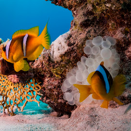 double nemo by Catalin Ienci - Animals Fish ( underwater, fish, anemone, clown fish, nemo )