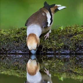 Hawfinch reflection at drinking pool in Hungary. by Marlene Finlayson - Animals Birds