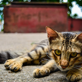 The Wild Cat by Praneeth Shivashankar - Animals - Cats Portraits ( portraiture, pet portrait, cats, wild, animals,  )