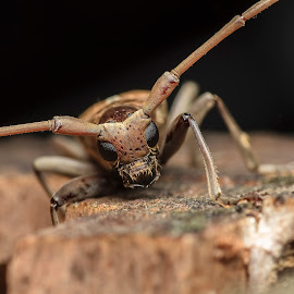 Longhorn Beetle by Kamal Hanif - Animals Insects & Spiders