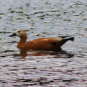 Ruddy Shelduck female