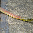 Red-necked keelback 紅脖游蛇