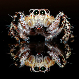 by Fentee  Affandy - Animals Insects & Spiders ( macrophotography, spider, insect )