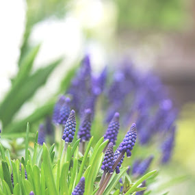 Muscari  by Ioana Laura - Flowers Flower Arangements