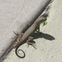 Northern Curley Tailed Lizard