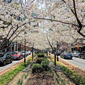 Cherry Blossoms  by Barbara Brock - City,  Street & Park  Neighborhoods ( white flowers, city streets, flower trees, flowers, cherry blossoms )