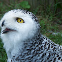 Snowy Owl (Female)