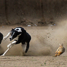 Race by Abdul Rehman - Animals - Dogs Running ( rabbit, pakistan, multan, dog race, race )