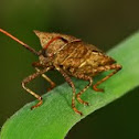 Coreus marginatus