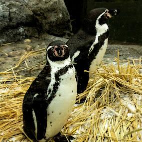 Petrified Penguin  by Denver Pratt - Animals Birds ( , Africa, Safari )