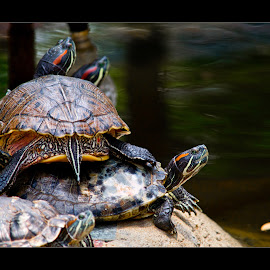 Eastern Painted Turtles by Vincent Albert - Animals Amphibians ( painted, creativince, turtles,  )