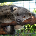 "Binturong or ""Palawan Bear Cat,"" locally known as Musang in the Philippines"