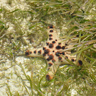 Horned Sea Star