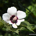 Maple-Leaved Mallow