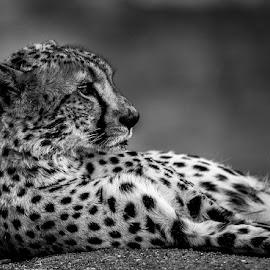 Contemplation by Marc de Chalain - Animals Lions, Tigers & Big Cats ( predator, cheetah, beautiful, mono cheetah, africa, male cheetah )