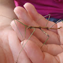 Northern walkingstick (male)