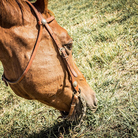 Deserved Snack by Will Ballew - Animals Horses ( grazing, grass, horse )