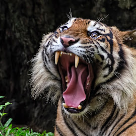 Open wide by Dikky Oesin - Animals Lions, Tigers & Big Cats ( tiger, roar, stripes, teeth, eye,  )