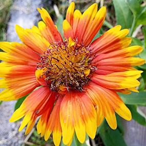 AA by Mahesh Gadekar - Flowers Single Flower (  )