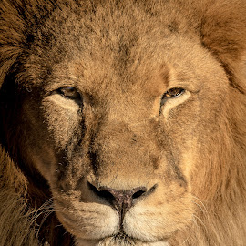 African Lion by Joe Neely - Animals Lions, Tigers & Big Cats ( lion, hungry lion, male african lion, lion portrait, pride leader )