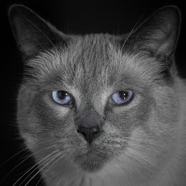 Siamese by Charles Birch - Animals - Cats Portraits ( cat, stare down, low key, siamese cat, siamese )