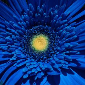 Blue Essence ! by Darshan Trivedi - Flowers Single Flower ( center, essence, macro, android, blue, beautiful, lovely, daisy, flower,  )