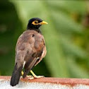 Indian Common Myna~