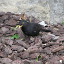Common Blackbird (Merlo)